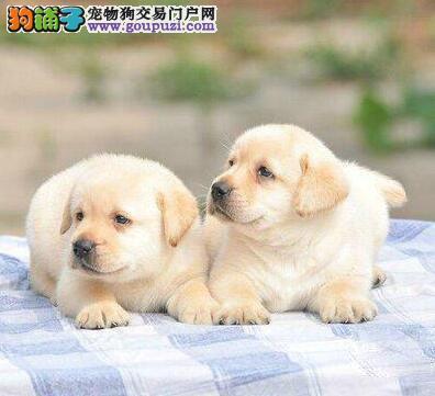 克拉玛依导盲犬拉布拉幼犬出售 温顺可爱 随时可看狗