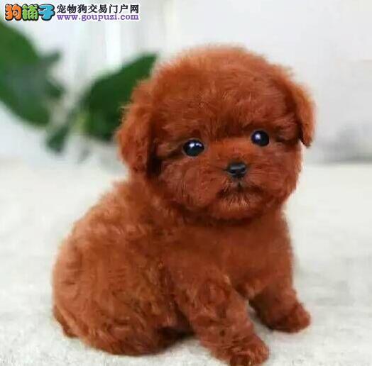 武汉本地出售高品质泰迪犬宝宝喜欢加微信可签署协议1