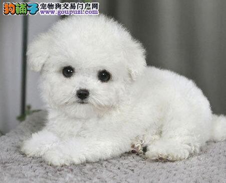 泰迪犬武汉最大的正规犬舍完美售后品质血统售后均有保障1