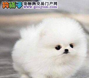 北京自家繁殖的纯种博美犬找主人价格美丽非诚勿扰