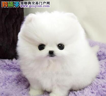 成都纯种家养哈多利球体白色博美俊介幼犬玩具迷你型