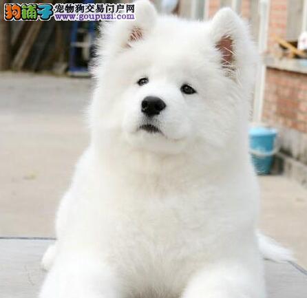 杭州正规狗场热卖极品萨摩耶公母都有保健康2