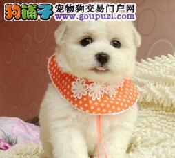 自家繁殖好品相杭州比熊犬保证纯种可见父母