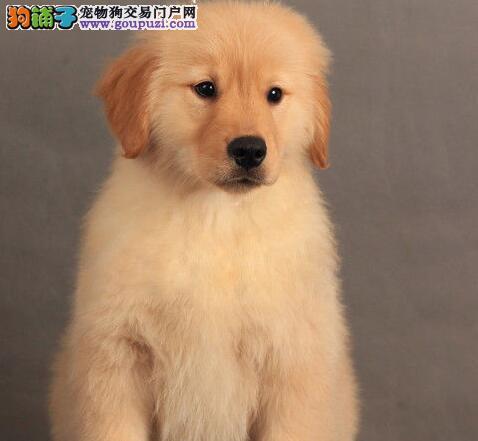 家养纯种金毛犬转让 杭州地区购犬可免费送货