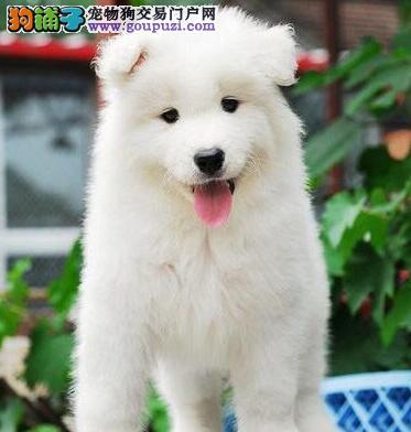 杭州正规狗场热卖极品萨摩耶公母都有保健康3