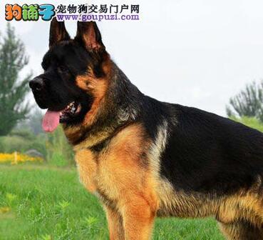 两个月大的德国牧羊犬吃什么长得快,发育的好