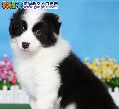 北京犬舍出售狗界智商第一的边境牧羊犬宝宝售后保障