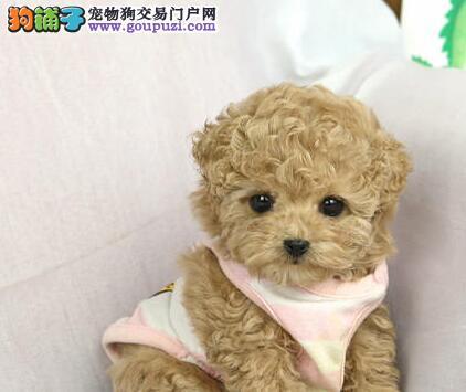 长春专业养殖基地出售韩系泰迪犬 血统有保障纯度高2