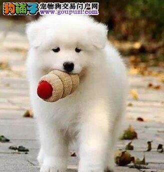 天津犬舍出售纯种萨摩耶 可签健康协议 包养活萨摩幼犬