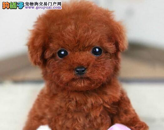 玩具巧克力咖啡色泰迪犬价格 终身保障纯种健康签协议