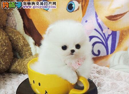 南京实体狗场出售纯正血统的博美犬 疫苗驱虫已做好