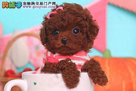 张家界直销韩系泰迪幼犬棕红色泰迪犬质保健康可送