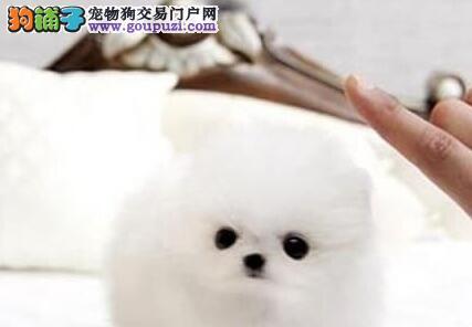 深圳售纯种哈多利系博美犬 松鼠犬 俊介幼犬公母全有