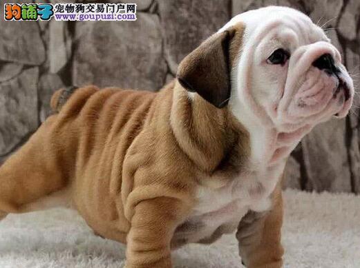 直销价格出售极品优质斗牛犬 广州周边城市可免邮费