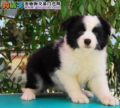 杭州边牧幼犬出售 微信视频送狗上门 终身质保签协议
