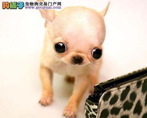 重庆出售墨西哥吉娃娃幼犬 小体茶杯犬大眼睛苹果头