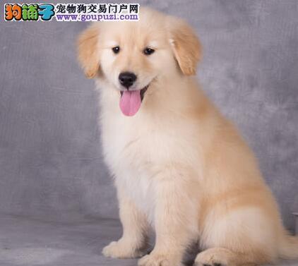 纯种金毛幼崽、品质第一价位最低、提供养狗指导