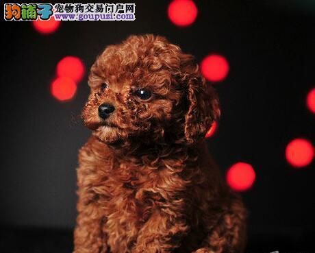 广州纯种小体泰迪犬出售疫苗齐全签活体协议送货上门