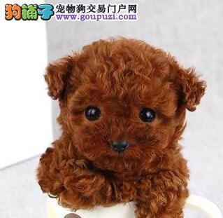 纯正韩国微小玩具泰迪犬 重庆期待你的到来 训练完毕