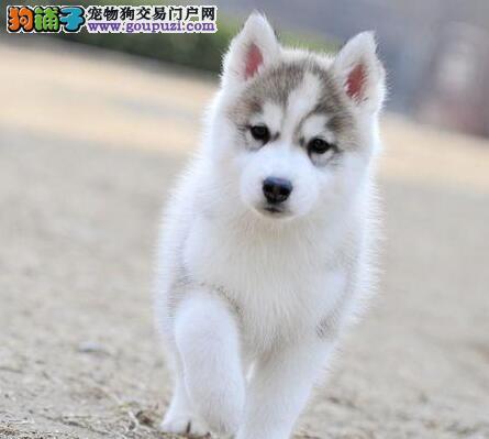 肇庆基地直销极品哈士奇幼犬 保健康保纯种签售后协议