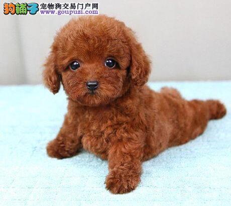 优秀韩系泰迪犬福州犬舍热销 可签署终身质保协议书3