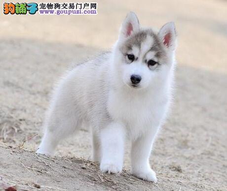 上海正规狗场直销出售优秀哈士奇 淘气可爱纯种三把火2