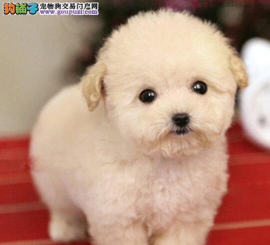 特价出售纯种韩国血统贵宾犬 南京市内可免费送狗到家