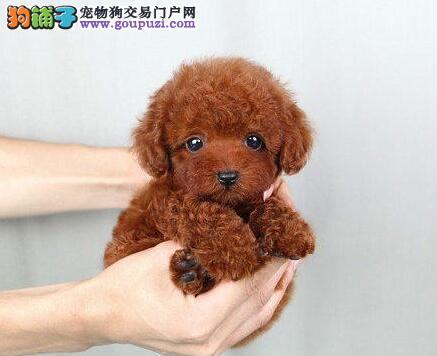 优秀韩系泰迪犬福州犬舍热销 可签署终身质保协议书1