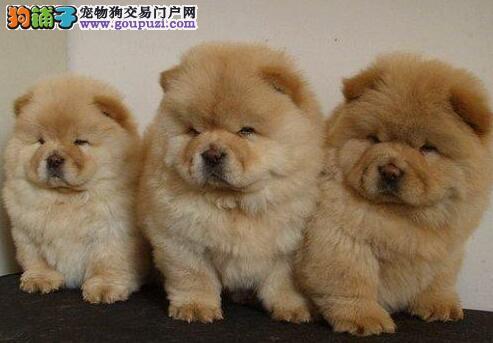 赛级品相沈阳松狮幼犬低价出售价格美丽品质优良