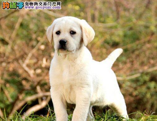 北京买拉布拉多犬我们只注重品质包活包健康颜色可选