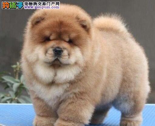 深圳市出售纯种肉嘴松狮犬包健康养活