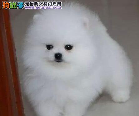 超级萌日系俊介犬球体博美犬是 终身质保签订协议