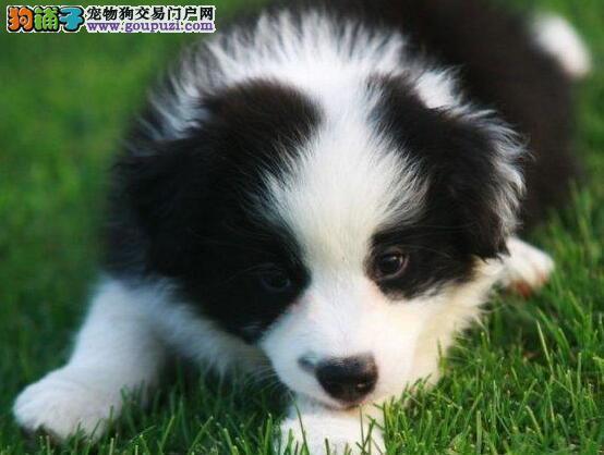 南京哪里出售边境牧羊犬(包纯种健康)欢迎上门选购