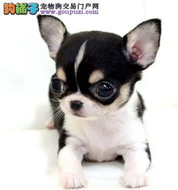 CKU认证服务犬舍纯种健康金鱼眼吉娃娃