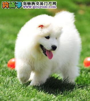 出售纯种澳版萨摩耶 来沈阳犬舍上门挑选可赠送狗用品