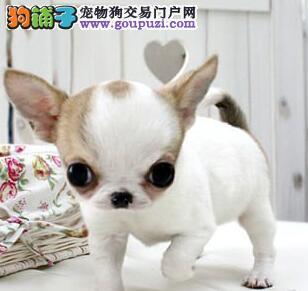 高品质超小体纯种墨西哥苹果头茶杯体吉娃娃犬幼犬出售