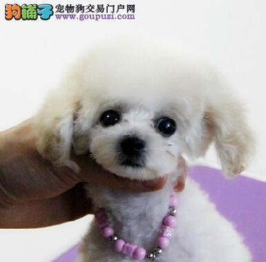 纯种茶杯型贵宾犬 玩具型贵宾犬幼犬专业繁殖基地直销