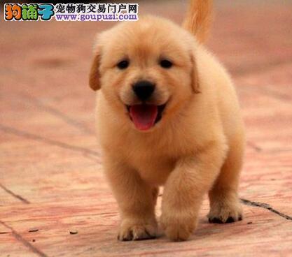 合肥实体狗场出售健康金毛犬 价格美丽品质保障