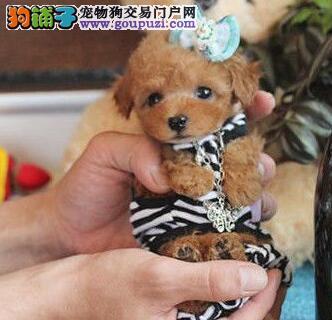 出售多种颜色长沙纯种贵宾犬幼犬带血统证书签活体协议