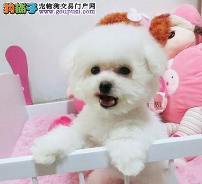 上海专业繁殖 比熊犬幼犬 签售后协议可见父母 送上门