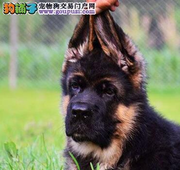 高端德国牧羊犬幼犬,自家繁殖保养活,全国送货上门