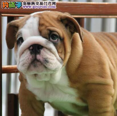 酒泉CKU认证犬舍出售高品质英国斗牛犬均有三证保障