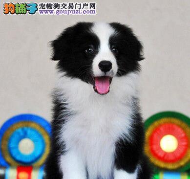 自家繁殖边境牧羊犬转让北京地区购买可优惠