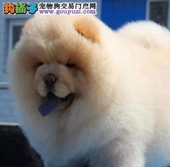 正规狗场促销纯种北京松狮犬质保出售