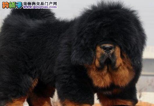 大型犬舍出售狮王血系藏獒 北京附近可免费送狗上门