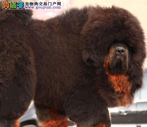 绝对健康质保的精品藏獒西安热销 超大超密度长毛