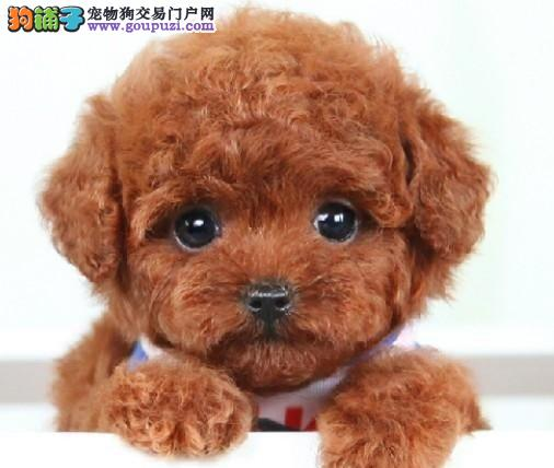 小玩具体泰迪犬出售超萌泰迪犬幼犬各种体形各种颜色