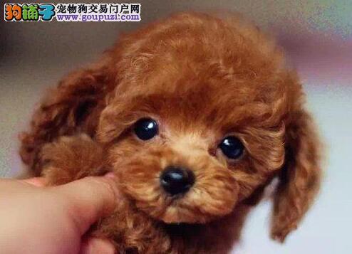 广州泰迪熊狗狗 广州纯种宠物狗贵宾犬 贵宾犬价格