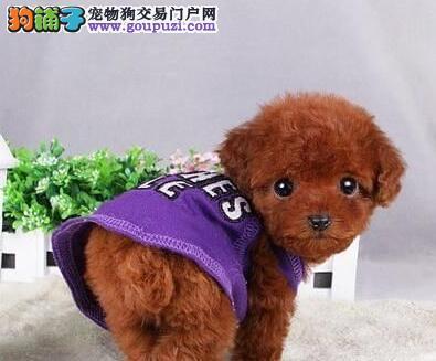 实体店出售血统纯正温州泰迪犬多个颜色品质保证