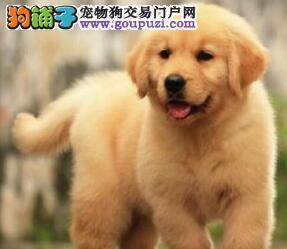 重庆售金毛犬幼犬黄金猎犬疫苗驱虫已做